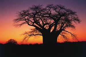 Boabab tree copy